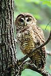 Northern spotted owl, Wenatchee National Forest, Washington.