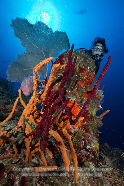 TH0856-D. Brown Tube Sponges (Agelas conifera), red Erect Rope Sponges (Amphimedon compressa) , and a Common Sea Fan (Gorgonia ventalina) decorate a reef outcropping. Cuba, Caribbean Sea.<br /> Photo Copyright &copy; Brandon Cole. All rights reserved worldwide.  www.brandoncole.com