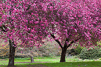 Flowering Crabapple (Malus ) 'Liset' in San Francisco Botanical Garden