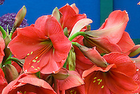 Hippeastrum Hercules (Amaryllis, red)