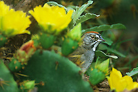 582210004 a wild green-tailed towhee pipilo chlorurus perches among flowering opuntia plants in the rio grande valley of south texas in the united states