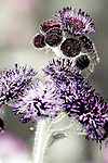 """A large variety of flowers, like this ageratum houstonianum (""""Red Sea"""" ageratum) dot the 50-acre expanse of Brookside Gardens in Silver Spring, Maryland."""