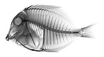 X-ray image of a powder blue tang fish (black on white) by Jim Wehtje, specialist in x-ray art and design images.