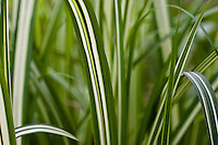 Miscanthus sinensis var. condensatus 'Cabaret' (Cabaret Japanese Silver Grass) - .A wide leaf slightly arching grass that grows to 6 feet tall with cream white stripes running down the middle of the otherwise dark green 1 1/4 inch wide leaves. In warm locations the copper-colored flowers appear in the fall and mature to a cream color. P