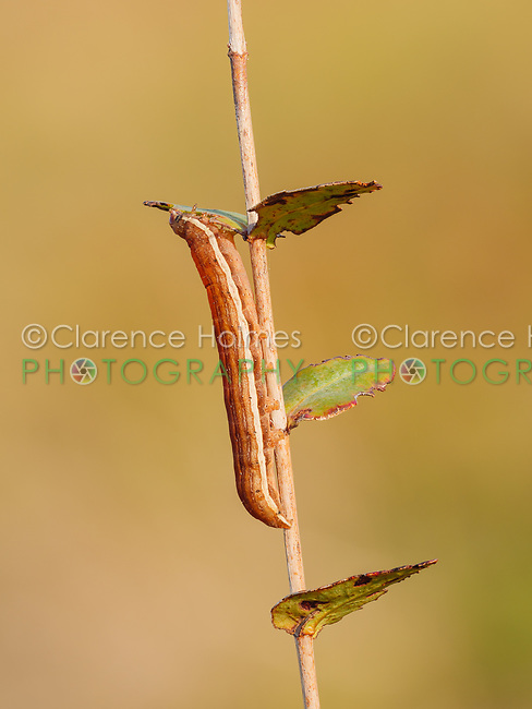 A Gray Half-Spot (Nedra ramosula) caterpillar (larva) feeding on St. Johnswort.