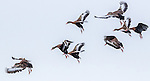 USA, Texas, Aransas Bay, black-bellied whistling-ducks
