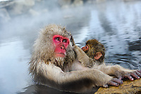 Snow monkeys or Japanese macaque, at Jigokudani Yaenkoen Park.