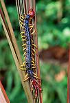 Centipede, Tambopata River region, Peru