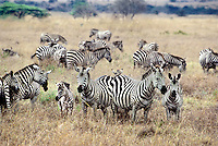 699375003 a wild herd of burchells zebras equus burchelli group together in tall grass in nairobi national park in kenya