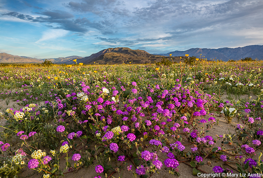 Anza-Borrego Desert State Park:  A field of desert wildflowers featuring dune evening primrose (Oenothera deltoides), desert sand verbena (Abronia villosa) and desert sunflower (Geraea canescens) in Borrego Valley in morning light