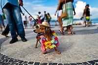 A Dachshund dog, wearing a fancy costume, participates in the Blocao pet carnival show at Copacabana beach in Rio de Janeiro, Brazil, 12 February 2012.