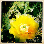 Prickly pear cactus flower blooms after winter rains, Anza-Borrego Desert, California, USA.
