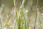 Grasses with early morning dew, Sierra de Andujar Natural Park, Sierra Morena, Andalucia, Spain, water droplets