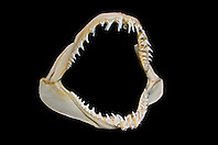 jaws of shortfin mako shark, Isurus oxyrinchus - daggerlike teeth grasp and hold fast-swimming prey such as fish and squids prior to swallowing, differences in shark tooth size and shape reflect what and how they prey on, Hawaii