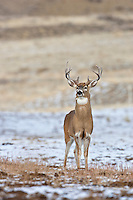Whitetail buck in Wyoming during the fall rut