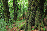 Old-growth beech forest in a WWF reserve near Piatra Craiului National Park, Southern Carpathians, Romania, Rewilding Europe site