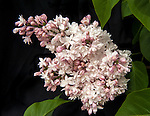Beauty of Moscow lilac blooming