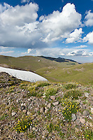 Alpine environment with wildflowers in bloom on Carter Mountain in the Absaroka Range