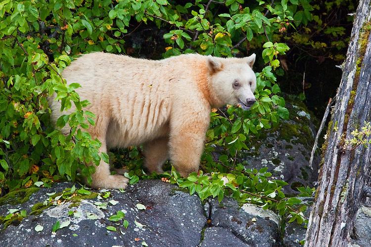 """Kermode """"Spirit"""" Bear eating crab apples along the shore of Gibble Island"""