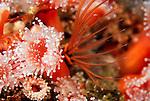 Santa Cruz Island, Channel Islands National Park & National Marine Sanctuary, California; Club-tipped Anemone (Corynactis californica) and a barnacle, feeding , Copyright © Matthew Meier, matthewmeierphoto.com All Rights Reserved
