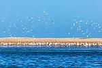 Flamingos (Phoenicopterus roseus) at Lagoon Khenifiss (Lac Naila), Atlantic coast, Morocco.