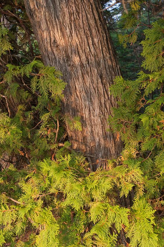 Cedar tree at Isle Royale National Park.