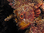Kenting, Taiwan -- Scorpionfish seemingly growing out of a rock.<br />