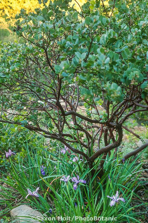 Arctostaphylos glauca x glandulosa 'Canyon Blush' Manzanita at Santa Barbara Botanic Garden