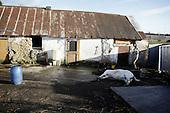 "Dublin, Ireland, January 5, 2011:.Dead horse, shot in a head by owners. .Since the beginning of crisis, between 10 and 20 thousand horses have become homeless or went in the hands of the youths in urban areas. Lots of Irish people who used to buy horses for fun during the boom years of ""Celtic Tiger"", now are abandoning them faced with expenditure of 35 Euro a week to properly maintain a horse. This animal previously worth 2000 Euro now can be purchased for as little as 80 Euro. New owners keep their horses in city greens, city ruins, or their house gardens, in very bad conditions. Most do not get much food, many are starving, dying, being mistreated..(Photo by Piotr Malecki / Napo Images)..Dublin, Irlandia, 5/01/2011:.Martwy kon zastrzelony przez wlascicieli..Od poczatku kryzysu od 10 do 20 tysiecy koni zostalo wyrzuconych na ulice przez wlascicieli nie chcacych placic okolo 35 Euro/tydzien za ich utrzymanie. Wpadaja one czesto w rece mlodziezy z ubogich dzielnic miasta, ktora handluje nimi, bije, glodzi, trzyma w skrajnie trudnych warunkach, w przydomowych ogrodkach lub ruinach budynkow i szaleje na nich po miescie. Kon, ktory byl wart 2000 Euro teraz moze byc kupiony za 80. .Fot: Piotr Malecki / Napo Images."