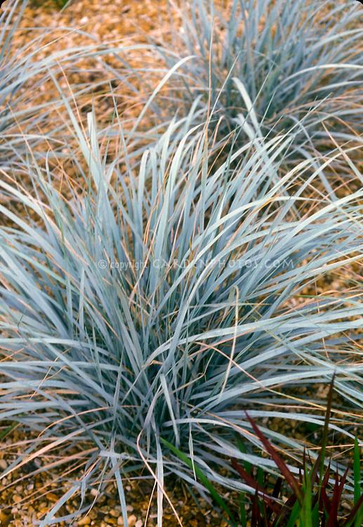 Blue ornamental grass for Ornamental grass that looks like wheat