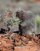 Porcupine eating from a deciduous bush - CA