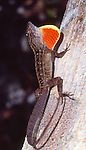 Cuban brown anole and dewlap