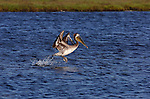 Brown Pelican Hunting, Bolsa Chica Wildlife Refuge, Southern California