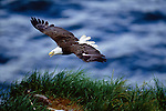 Bald eagle in flight, Unalaska Island, Alaska