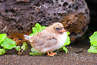Arctic tern youngster