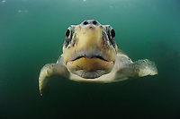 Head of a female Olive Ridley Sea Turtle (Lepidochelys olivacea) swimming from the open Pacific Ocean towards the beach of Ostional, Costa Rica for an arribada or mass nesting event.