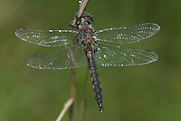 Common Baskettail (Epitheca cynosura) Dragonfly - Teneral Male, Ward Pound Ridge Reservation, Cross River, Westchester County, New York