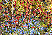 Cornus alba 'Sibirica' + Chionodoxa forbesii