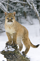 Puma kitten standing on the end of a tree stump while the snow falls - CA