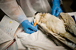 A veterinarian inspects a bird shortly after euthanizing it.  The bird presented with light oil on its feathers, but was wet-to-skin.  Oil makes it difficult for birds to repel water, creating secondary issues related to thermoregulation...Jenn Bruno, DVM, Jeanie Beaston, Paraprofessional, Jocelyn Selin, DVM Student, and Erica Miller, DVM...Employees and volunteers from International Bird Rescue and Tri-State Bird Rescue and Research, Inc. work to triage incoming birds impacted by the Deepwater Horizon Oil Spill.  To date, the treatment facility has seen more than 800 birds brought in by wildlife workers for oil-related injuries and illnesses.  When a bird is covered in oil, it's ability to repel water is severely impacted, leaving many birds without the ability to thermoregulate, forage for food, or properly hydrate.  Incoming birds must first be stabilized, warmed, fed, and hydrated before they are candidates for cleaning.  Once cleaned of oil, the birds are monitored.  Once they are clean and stable, the birds are evaluated for re-release...Deepwater Horizon Oil Spill.  The spill is estimated to be gushing 35,000 to 60,000 barells of oil into the ocean per day.  Difficulties installing monitoring devices at the source have made this number difficult to clearly ascertain.  The spill is among the world's worst.