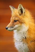 Red fox portrait, Katmai National Park, Alaska