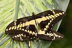 La Guacima de Alajuela, Costa Rica; a pair of Thoas Swallowtail (Papilio thoas) butterflies mating on a leaf , Copyright © Matthew Meier, matthewmeierphoto.com All Rights Reserved