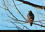 Dark Morph Red-tailed Hawk, Bosque del Apache Wildlife Refuge, New Mexico