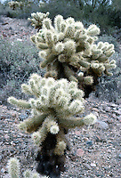 CACTUS VARIETIES<br /> Cholla<br /> Cholla is a term applied to various shrubby cacti of the opuntia genus with cylindrical stems composed of segmented joints.  These stems are actually modified branches that serve several functions--water storage, photosynthesis and flower production.