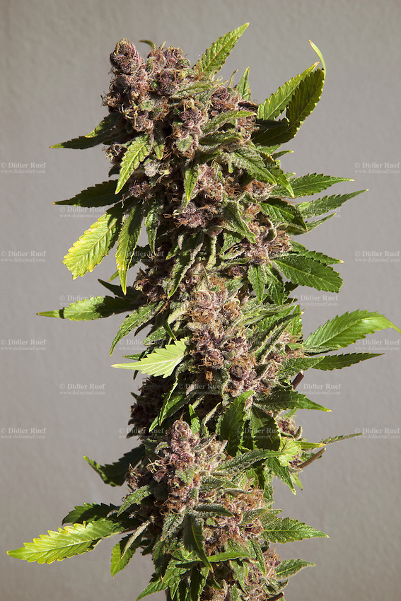 "USA. Colorado state. Denver.  Purple Urklle marijuana at Medicine Man. The Purple Urkle strain is a clone-only variety of cannabis that has skyrocketed in popularity since the 1980s. It is sometimes referred to as Purple Urple or The Urkle. A forest of plants is flowering in one of the marijuana grow rooms at Medicine man. Cannabis buds just look like a knobby tangle of leaves, but the calyx is what actually comprises the female flower. Underneath those tiny leaves (called ""sugar leaves"") stand tear-shaped nodules which are the calyxes, and they come in many different shapes, sizes, and colors. Calyxes typically contain high concentrations of trichomes, or glands that secrete THC and other cannabinoids. Medicine Man began nearly six years ago as a small medical marijuana operation and has since grown to be the largest single marijuana dispensary, both recreational and medical, in the state of Colorado and has aspirations of becoming a national brand if pot legalization continues its march. Cannabis, commonly known as marijuana, is a preparation of the Cannabis plant intended for use as a psychoactive drug and as medicine. Pharmacologically, the principal psychoactive constituent of cannabis is tetrahydrocannabinol (THC); it is one of 483 known compounds in the plant, including at least 84 other cannabinoids, such as cannabidiol (CBD), cannabinol (CBN), tetrahydrocannabivarin (THCV), and cannabigerol (CBG). 19.12.2014 © 2014 Didier Ruef"