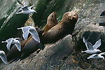 Steller or Northern Sea Lions, Glacier Bay National Park, Alaska.