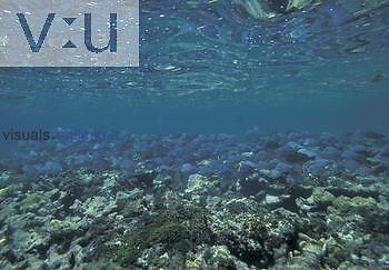 Large, mixed school of Ocean Surgeonfish (Acanthurus bahianus), Doctorfish (Acanthurus chirurgus), and Blue Tang (Acanthurus coeruleus) foraging for algae on the top of a coral reef, Florida Keys National Marine Sanctuary, Key Largo, Florida, USA.