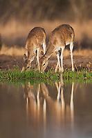 White-tailed Deer (Odocoileus virginianus), young drinking, Sinton, Corpus Christi, Coastal Bend, Texas, USA