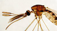 INSECTS<br /> Mosquito Head And Thorax, LM 40x mag.<br /> Aedes aegypti. Anterior of mosquito showing detail of mouthparts.