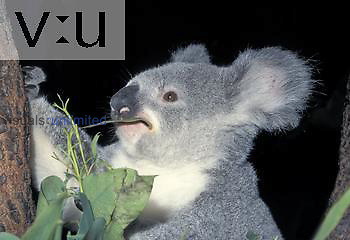 Koala (Phascolarctos cinereus) eating Eucalyptus leaves, Australia.
